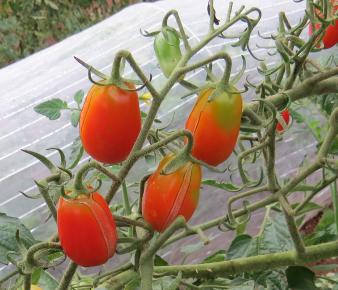 イタリアンロッソ菜園8月下旬