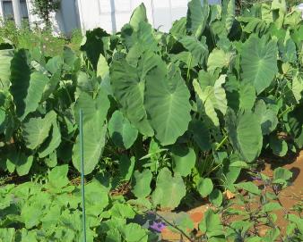 家庭菜園のサトイモ9月上旬