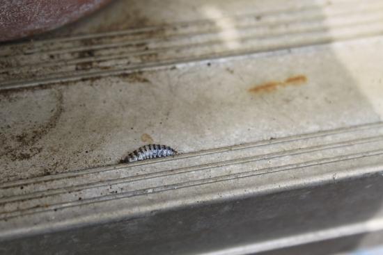 カエルに寄生する虫_3558 (1)