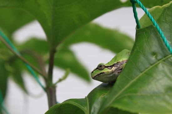 カエルに寄生する虫_3558 (2)