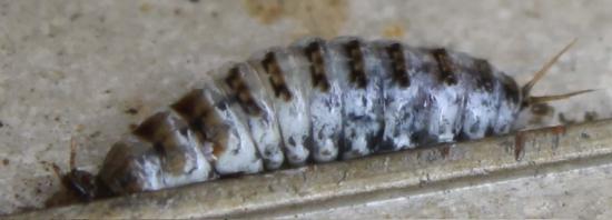 カエルに寄生する虫_3558 (3)
