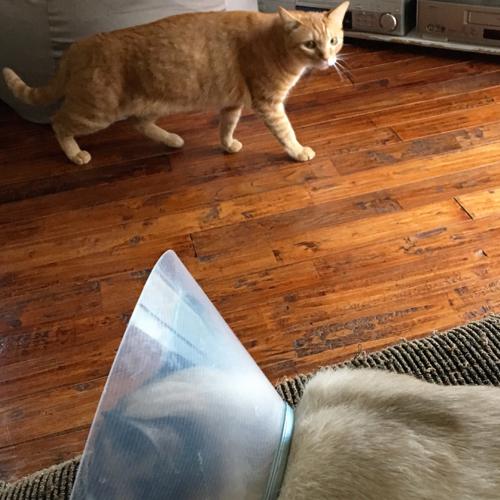 捨て猫がエリカラ装着でバージョンアップしてきた!