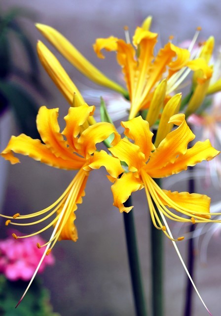 リコリス 黄色