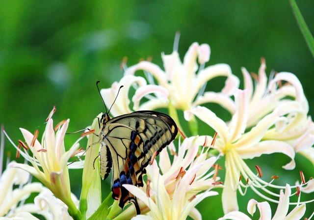 彼岸花と蝶3