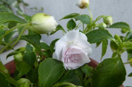 ベゴニア八重咲きうすピンク
