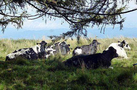 蓼科・牛ものんびり