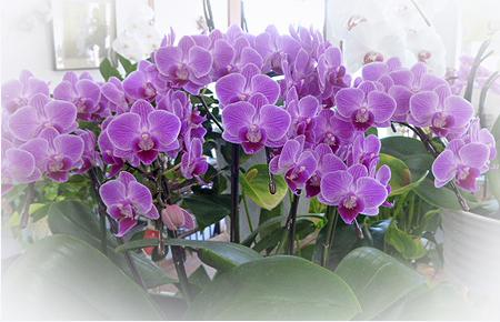 鉢花胡蝶蘭1