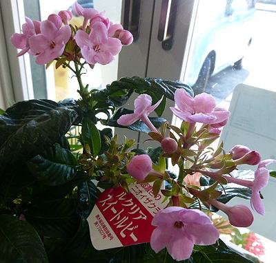 鉢花ニオイザクラ