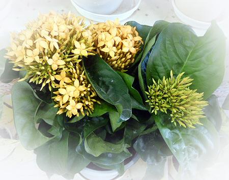 鉢花カランコエ