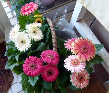 鉢花ガ-ベラ