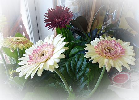 鉢花ガ-ベラ1