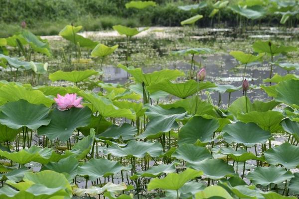 170821-蓮の花