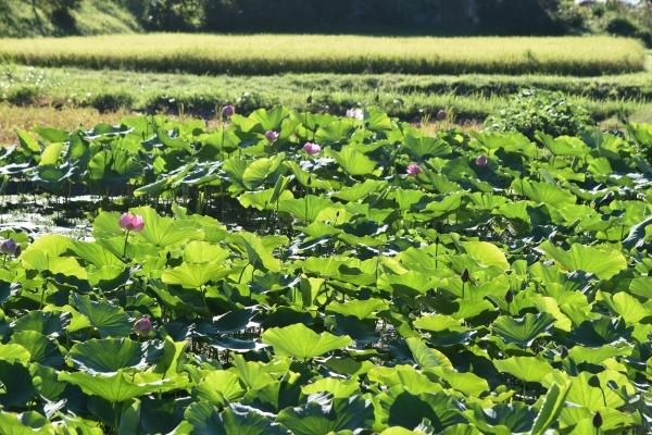170901-牧戸蓮の池