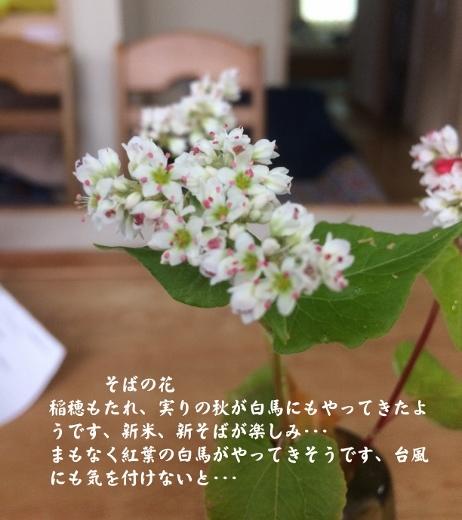 そばの花 (462x520)