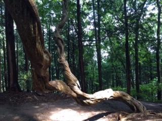 宝登山神社捻れた木
