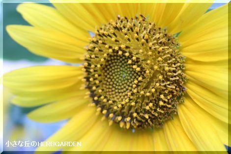 470 向日葵