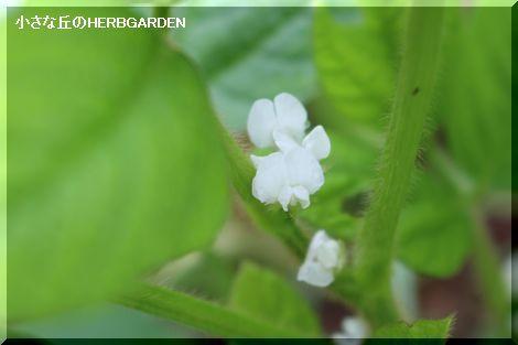 470 枝豆白いお花