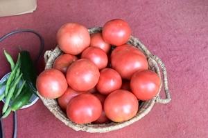 7月29日のトマトの収穫