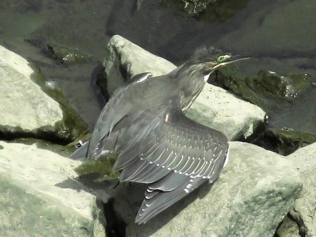 ササゴイ幼鳥03