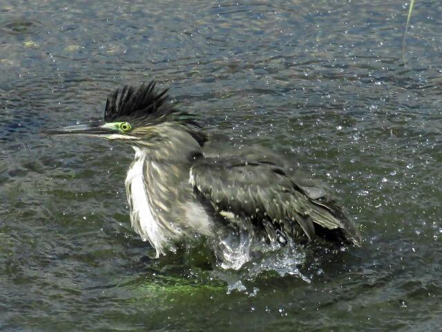 ササゴイ幼鳥08