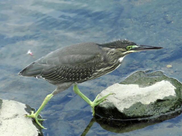 ササゴイ幼鳥09