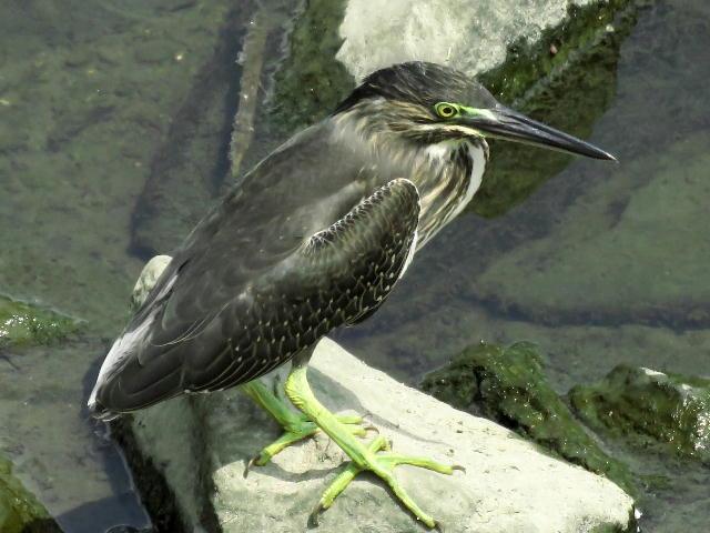 ササゴイ幼鳥10