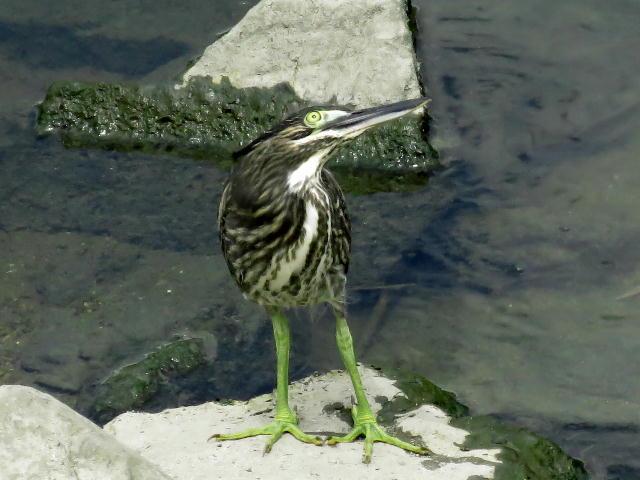 ササゴイ幼鳥23