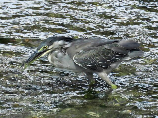 ササゴイ幼鳥25