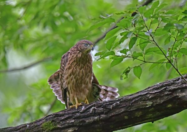 オオタカ13幼鳥 DSC_0231
