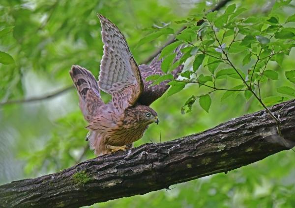 オオタカ14幼鳥 DSC_0253