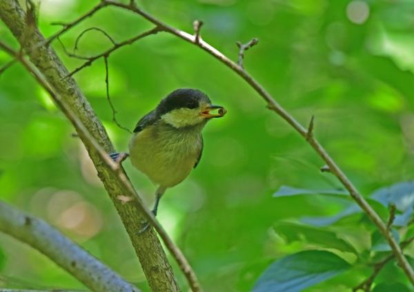 ヤマガラ幼鳥1 DSC_0143