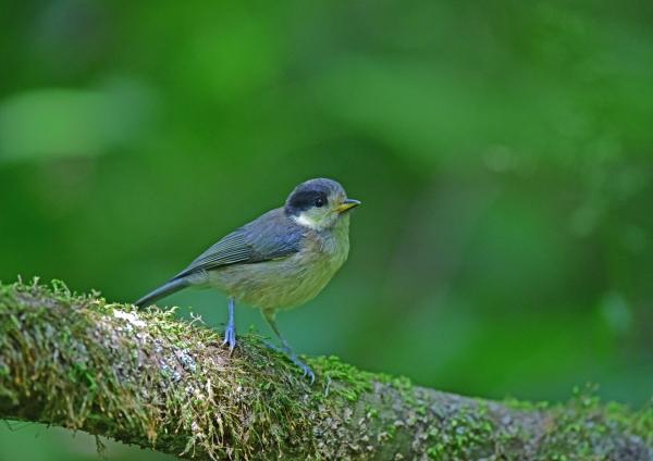 ヤマガラ幼鳥3 DSC_0095