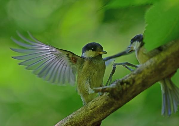 ヤマガラ幼鳥5 DSC_0053