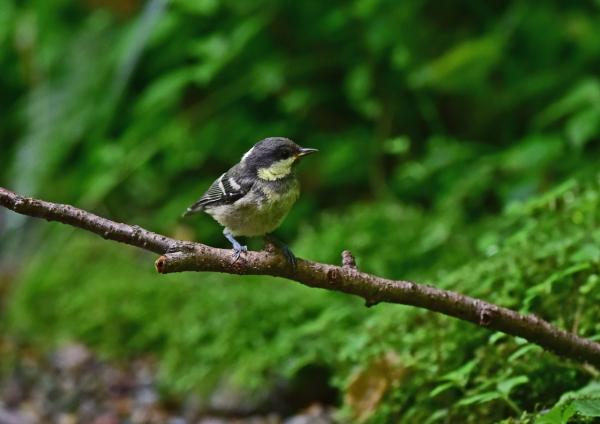 1ヒガラ幼鳥 DSC_0014