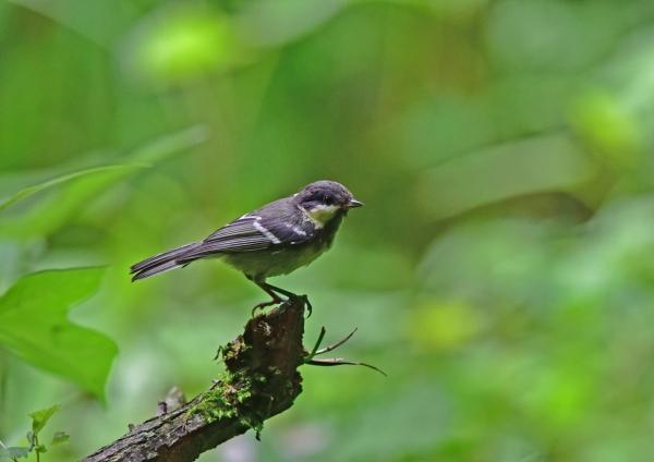 2ヒガラ幼鳥 DSC_0057