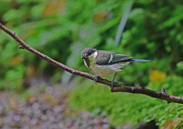 4シジュウカラ幼鳥 DSC_0281