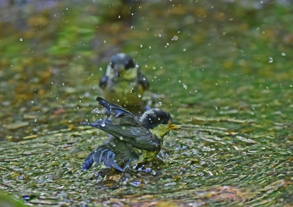 ヤマガラ7幼鳥 DSC_0001