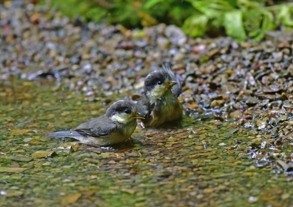 ヤマガラ8幼鳥 DSC_0567