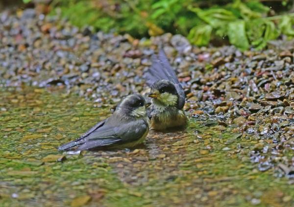 ヤマガラ9幼鳥 DSC_0587