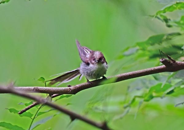 エナガ幼鳥1 DSC_0347