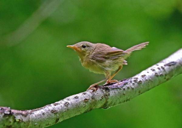 ウグイス幼鳥1 DSC_0021
