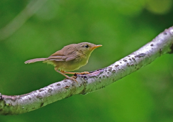 ウグイス幼鳥2 DSC_0028