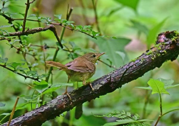 ウグイス幼鳥4 DSC_0086