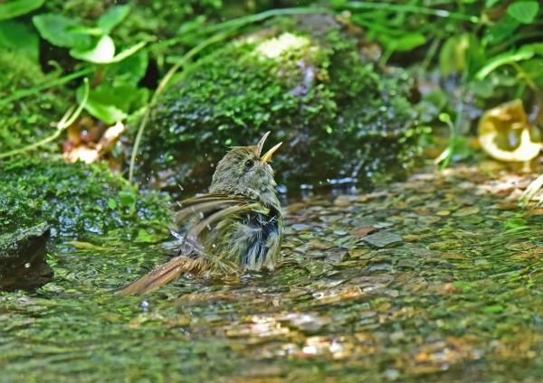 ウグイス幼鳥5 DSC_0204