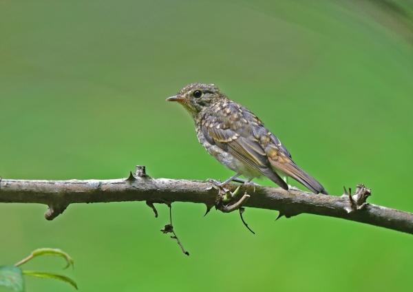 キビタキ幼鳥1 DSC_0125