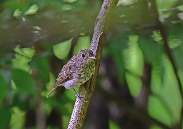 キビタキ幼鳥2 DSC_0150