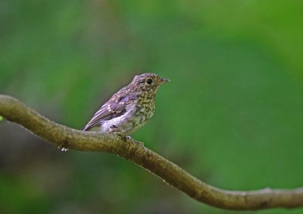 キビタキ幼鳥3 DSC_0160