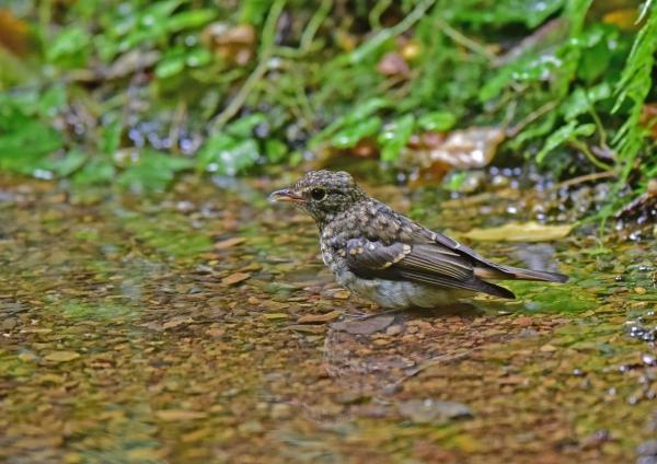 キビタキ幼鳥4 DSC_0173
