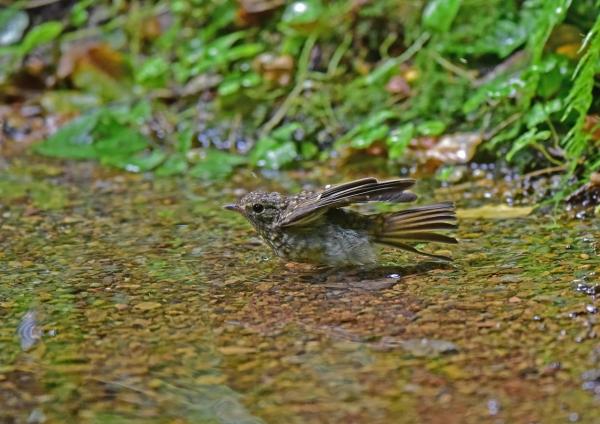 キビタキ幼鳥5 DSC_0176