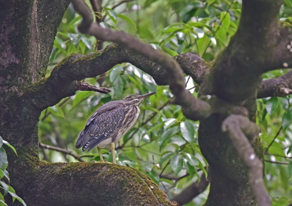 ササゴイ幼鳥1 DSC_0318